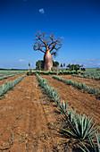 Sisal crop