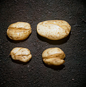 Splitting of potato tubers