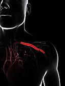Shoulder artery,artwork
