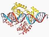Pit-1 transcription factor bound to DNA