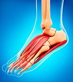 Human foot musculature,artwork