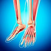 Human leg musculature,artwork