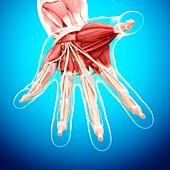Human hand musculature,artwork