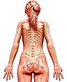 Female lymphatic system,artwork