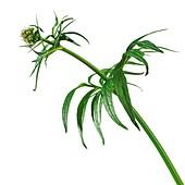 Valerian Valeriana officinalis