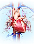 Human cardiovascular system,artwork