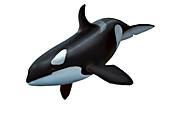Female killer whale,artwork