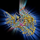 DNA transcription,molecular model