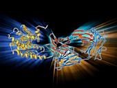 Beta-2 adrenergic receptor molecule