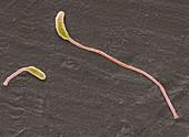 Clostridium phytofermentans,SEM