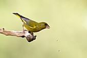 European Greenfinch Carduelis chloris