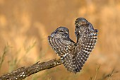 Little owl athene noctua couple