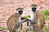 Grivet monkey Chlorocebus aethiops