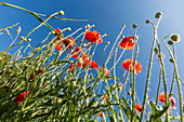 Poppies against a clear blue sky