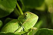 Common Chameleon Chamaeleo chamaeleon