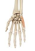 Hand muscle,illustration