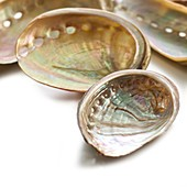 White coloured abalone shells