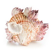 Scallop shell and barnacles