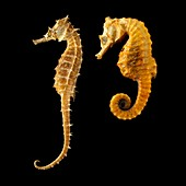 Two seahorses against black background