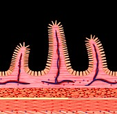 Small intestine wall,illustration