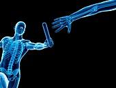 Skeletal system,Illustration