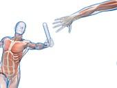 Muscular system of a runner,Illustration