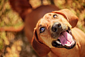 Dog looking up with mouth open