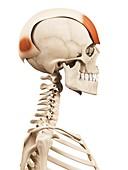 Human head muscles,illustration