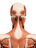 Human head and neck muscles,illustration