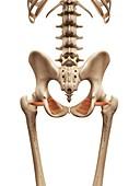 Human muscles,illustration