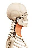 Human neck muscles,illustration