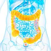 Large intestine,illustration