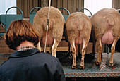 Transgenic sheep being milked