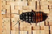 Cockroach locomotion research