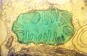 Mitochondrion,TEM