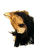 Crossed beak deformity in a chicken