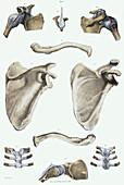Shoulder bones and ligaments