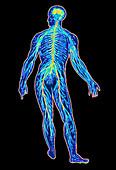 Illustration of human nervous system
