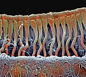 Cochlea cells,SEM