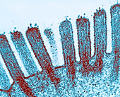 Intestinal microvilli,TEM