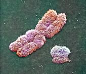 Male sex chromosomes,SEM