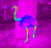 Thermogram of a rhea