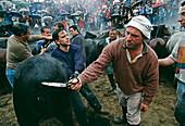 Men shearing a wild horse