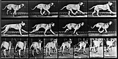 High-speed sequence of a running dog by Muybridge