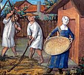 15th century wheat threshing