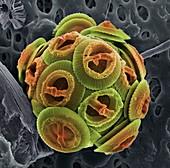 Calcareous phytoplankton,SEM