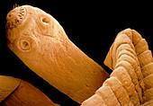 Coloured SEM of a tapeworm,Taenia sp