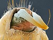 Head louse penis,coloured SEM