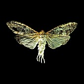 Phenax variegata fly