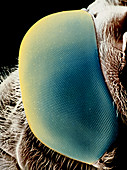 False-colour SEM of a hover fly's eye
